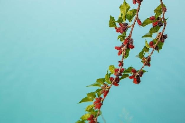 桑の木からの新鮮な桑