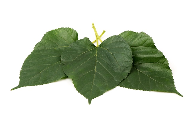 Свежие листья шелковицы изолированы на белом.