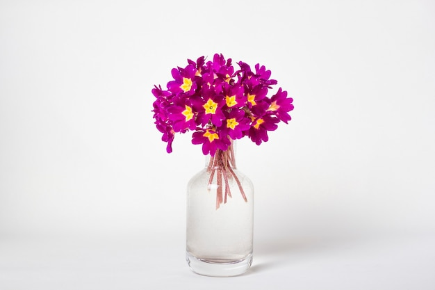 Fresh natural bouquet primula spring flowers in glass vase on white