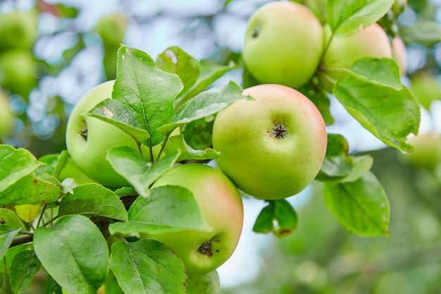 Fresh, natural, organic, juicy green apples, apples on a branch on a tree