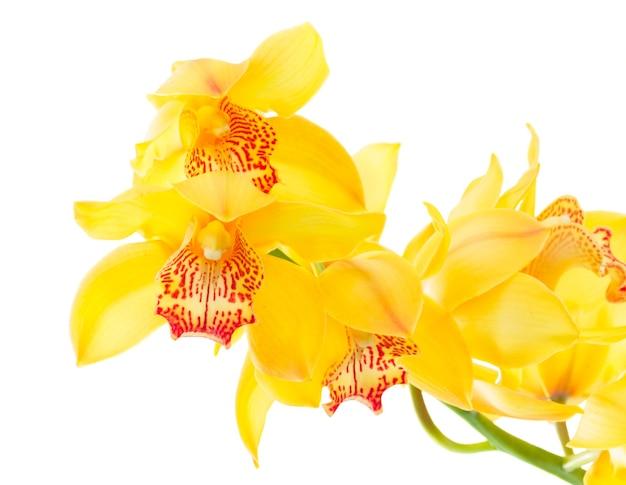 白い背景で隔離の新鮮な自然黄色の蘭の花closeup