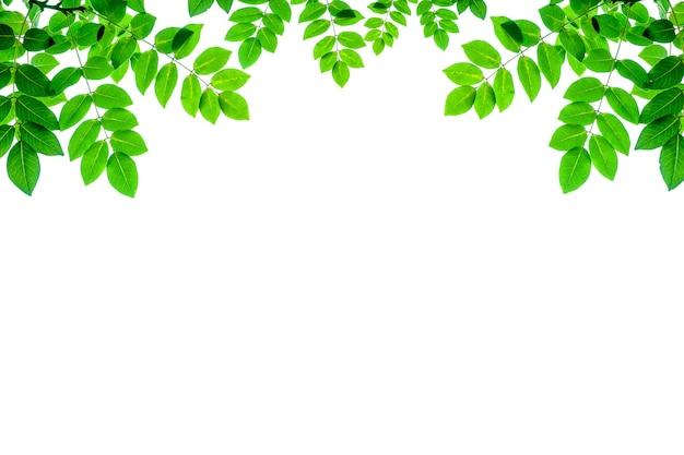 신선한 자연 녹색 잎 흰색 배경에 고립입니다. 녹색 잎의 근접 촬영 자연 보기입니다. 배경 자연 녹색으로 사용하는 빈 복사 공간