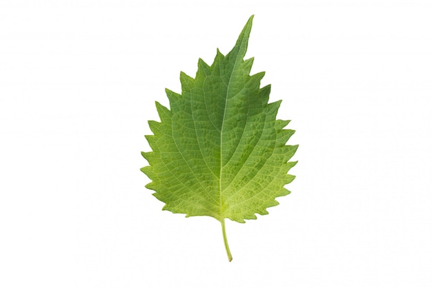 Fresh nettle leaves and on white background