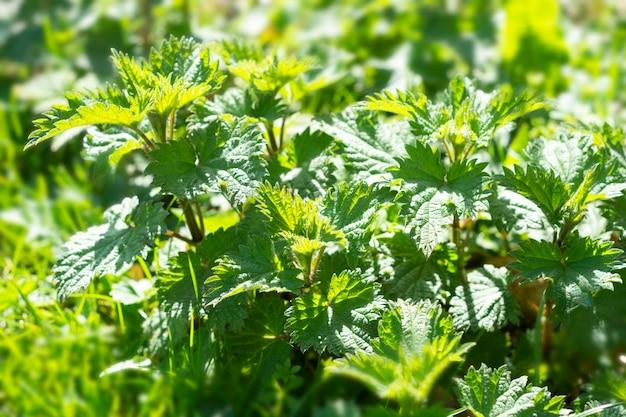 야생의 자연 배경에서 자라는 신선한 쐐기풀 식물