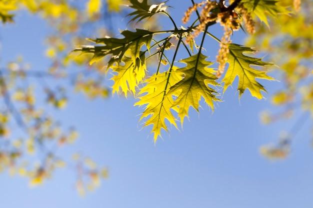 Fresh oak foliage in sunlight in the spring season