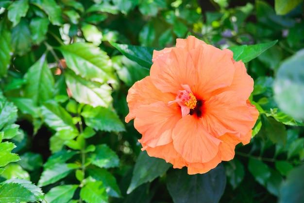 Свежий оранжевый бутон цветка гибискуса или гибискуса крупным планом на фоне зеленых листьев, горизонтальный на открытом воздухе летом цветочные и ботанические фото изображение обои