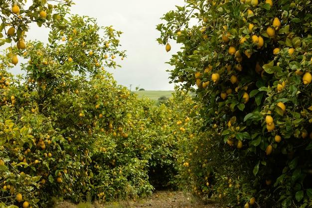 Fresh orange trees harvested