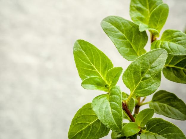 Fresh oregano herb on stone background.