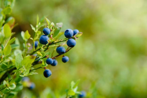 枝に新鮮な有機ブルーベリー