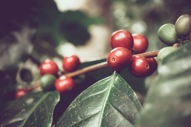 Fresh organic coffee cherries in northern part of thailand, selective focus, dark tone