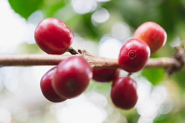 Fresh organic coffee cherries with coffee tree in northern part of thailan