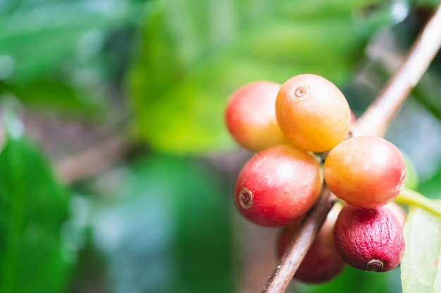 Fresh organic coffee cherries with coffee tree in northern part of thailand