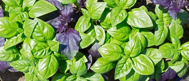 정원에서 자라는 신선한 유기농 녹색과 보라색 바질