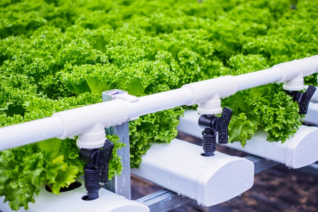 Fresh organic green leaves lettuce salad plant in hydroponics vegetables farm system