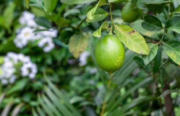 정원에 있는 나무에 매달려 있는 신선한 유기농 녹색 레몬