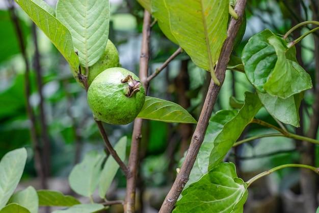 정원에 있는 나무에 있는 신선한 유기농 건강한 구아바 과일