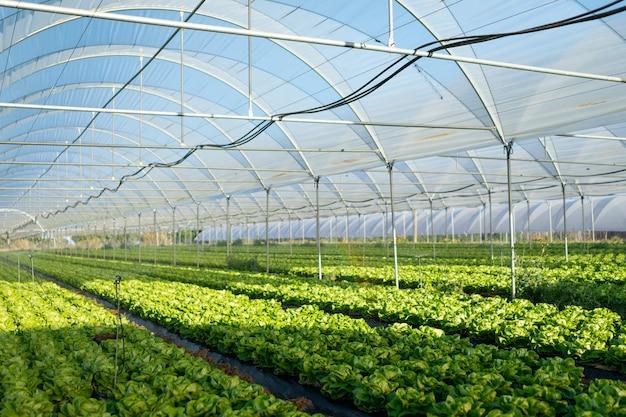 屋外の温室で新鮮な有機レタスの苗