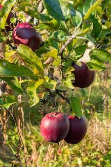 가을 정원에서 분기에 신선한 유기농 자연 빨간 사과, 건강 식품