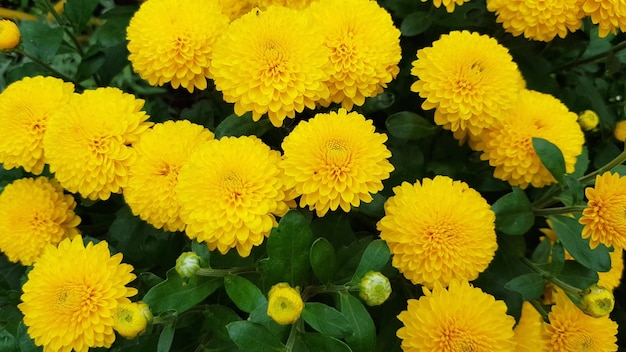 노란 꽃이 만발한 국화와 새싹으로 된 신선한 유기농 직물 조각이 밝은 노란색 꽃잎으로 피었습니다. 가을 꽃