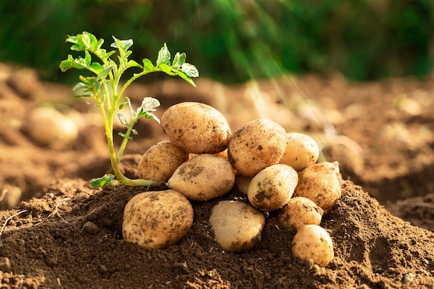 Fresh organic potato plant in the field