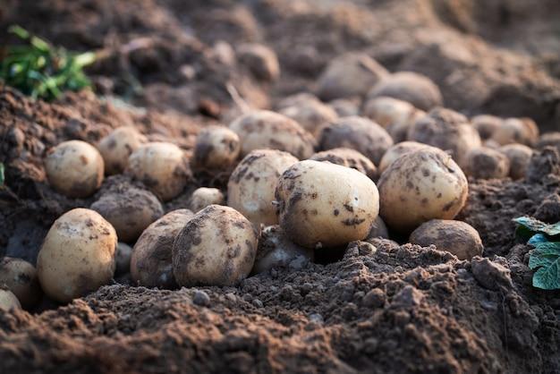 Свежий органический картофель в поле, сбор картофеля из почвы.