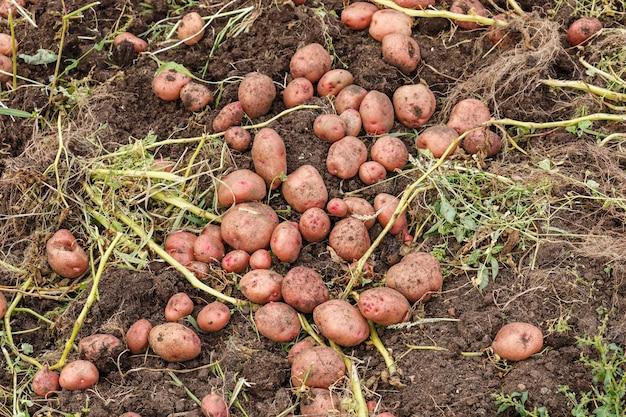Свежий органический картофель в поле. осенний сбор картофеля.