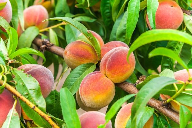 枝に緑の葉を持つ新鮮な有機熟したピンクの桃の木