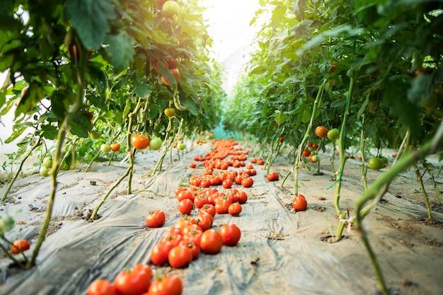 Свежие органические спелые овощи помидоров на земле в саду теплицы.