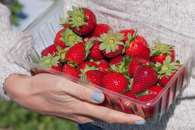 여자의 손에 신선한 유기농 딸기. 소녀는 신선한 딸기 작물을 수집