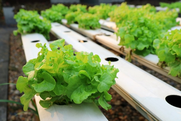 Fresh organic vegetable in hydroponic, without soil vegetable garden