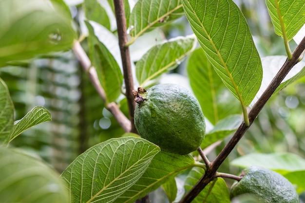 잎이 있는 나무에서 자라는 신선한 유기농 어린 구아바 과일