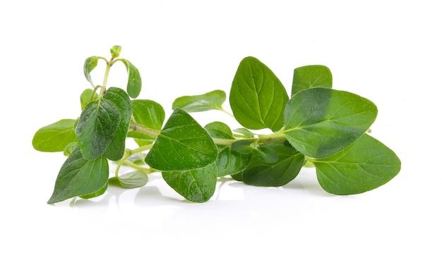 Fresh origano branch leaf isolated