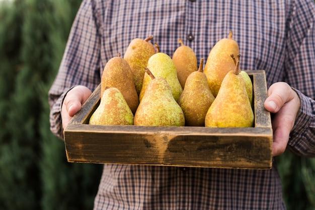 남성 손에 신선한 배입니다. 상자, 바구니에 육즙 풍미 가득한 배. 음식이나 배 주스를위한 유기농 과일. 건강한 음식. 배 수확.
