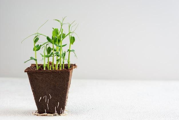 유기농 상자에 신선한 완두콩 microgreen 콩나물