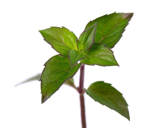 흰색 배경에 고립 된 신선한 박하 민트 잎