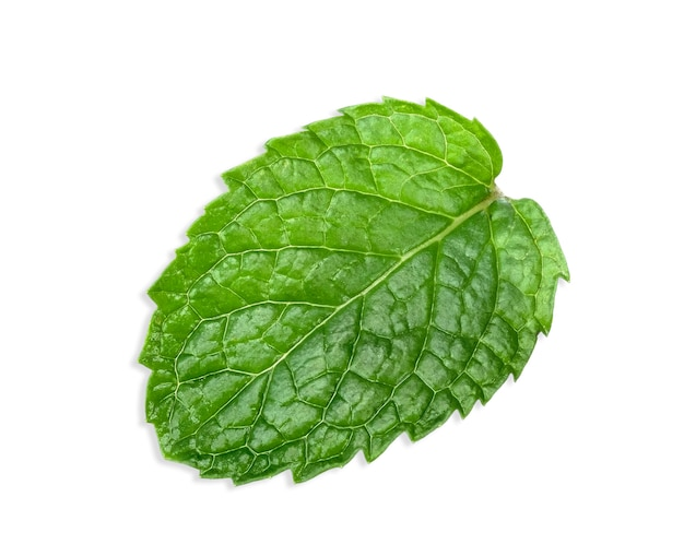 Fresh peppermint isolated on white