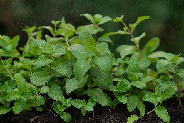 Fresh peppermint in an organic garden with a drizzle, peppermint for peppermint flavored products.