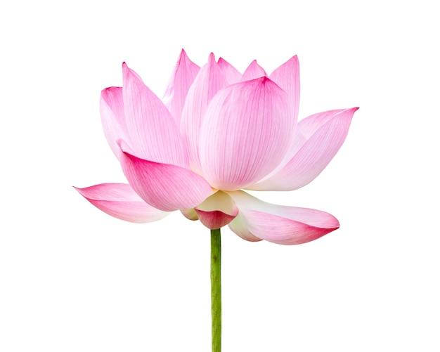 Свежий розовый цветок лотоса, изолированные на белом фоне. файл содержит обтравочный контур, поэтому легко работать.