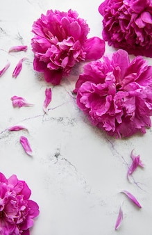 Fresh pink peony flowers border with copy space on white marble  surface, flat lay