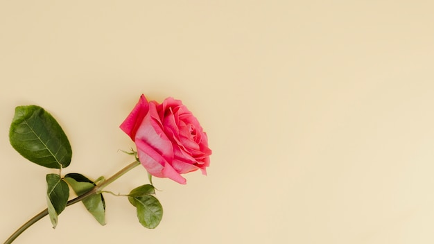 Fresh pink rose with copy space