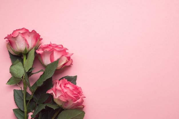 분홍색 배경에 신선한 분홍색 장미