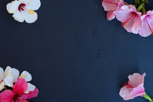Fresh pink and white hibiscus flowers on black background, frame with copy space