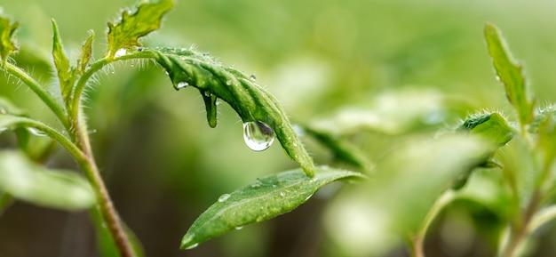 露のしずくのある新鮮な植物が庭にクローズアップします。新鮮な天然有機製品