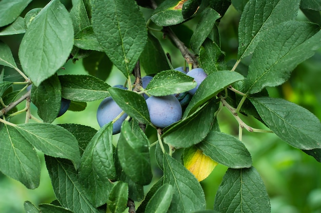 Fresh plum on the tree