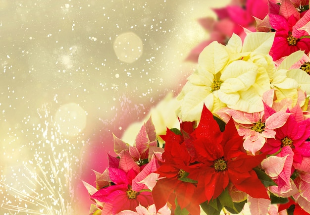 コピースペースでお祝いの金色の焦点がぼけた背景に新鮮なポインセチアの花やクリスマスの星