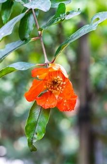 가정 정원에 녹색 잎이 있는 신선한 석류 꽃