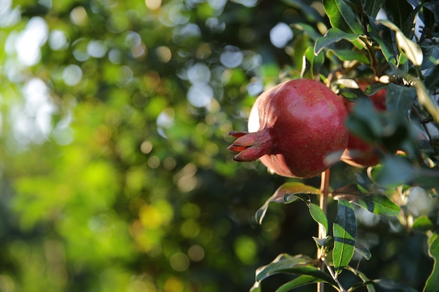 Fresh pomegranate on the tree ____