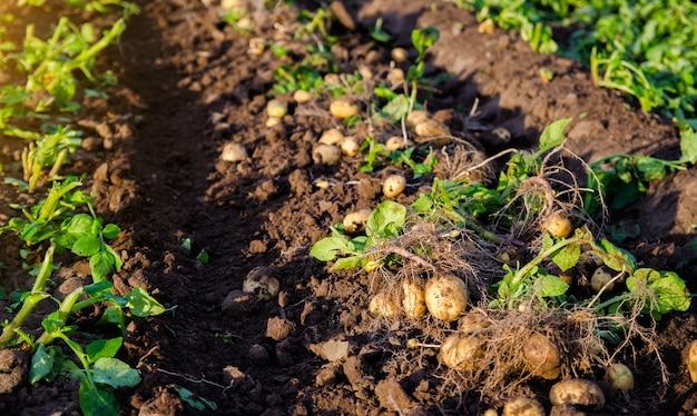 Fresh potatoes on ground freshly dug organic potato vegetables lie on moist loose ground with tops