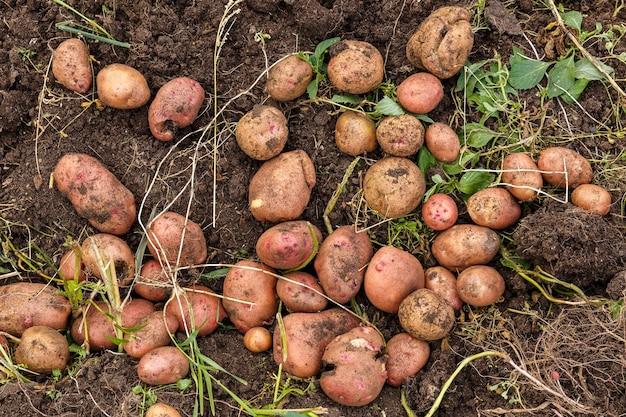 畑の新鮮なジャガイモ
