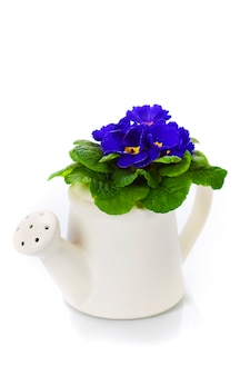 Fresh primula in watering can. gardening concept